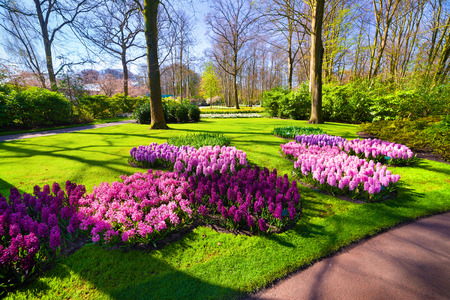 marvellous: Marvellous hyacinth flowers in the Keukenhof gardens. Beautiful outdoor scenery in Netherlands, Europe. Stock Photo