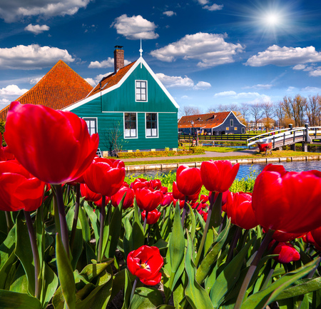 dutch typical: View of typical Dutch village Zaanstad. Colorful spring scene in Netherlands, country of tulips, windmill and thousands channels. Creative collage.