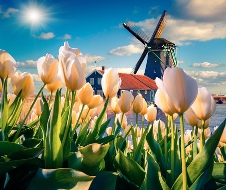 dutch: The famous Dutch windmills. View through white tulips on the Netherlands canals. Creative collage.
