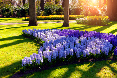 beautiful outdoor scenery with blue hyacinth flowers in the in netherlands