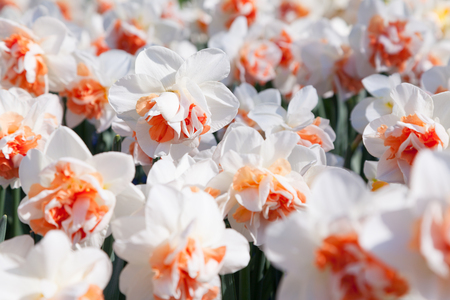 White narcissus in the Keukenhof gardens, used as background. Beautiful spring scenery in Netherlands, Europe.