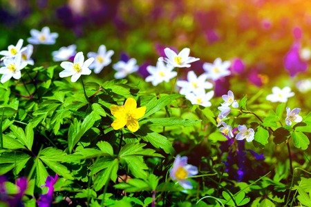 Blooming anemone flowers in the forest. Sunny spring scene in the woodland. Colorful sunrise.