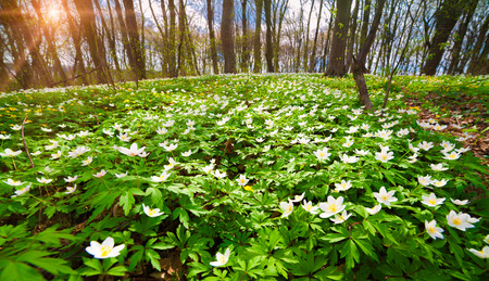 Blooming anemone flowers in the forest. Sunny spring scene in the woodland. Colorful sunrise, wide angle view.