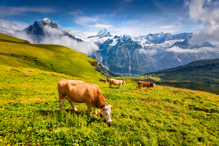 Cattle on a mountain pasture. Colorful morning view of Bernese Oberland Alps, Grindelwald village location. Wetterhorn and Klein Wellhorn mountains on background. Switzerland, Europe. Stock Photo