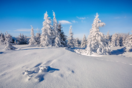 Sunny winter morning in Carpathian mountains with snow covered fir trees. Colorful landscape in forest, Happy New Year celebration concept. Artistic style post processed photo.