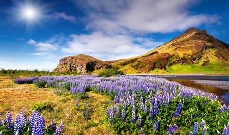 Typical Icelandic landscape with field jf blooming lupine flowers in the June. Sunny summer morning in the south coast of Iceland, Euriope. Artistic style post processed photo.