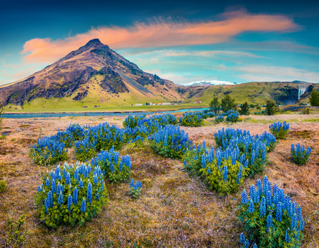 Blooming lupine flowers near majestic Skogafoss waterfall in south Iceland, Europe. Colorful summer landscape in the country. Instagram toning.