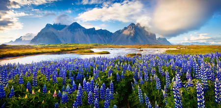 Panorama of Blooming lupine flowers on the Stokksnes headland on southeastern Icelandic coast. Iceland, Europe. Artistic style post processed photo. Stock Photo