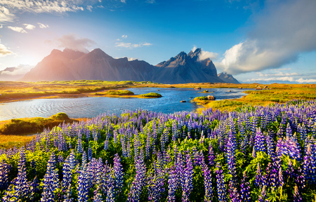 Blooming lupine flowers on the Stokksnes headland on the southeastern Icelandic coast. Iceland, Europe. Artistic style post processed photo. Banco de Imagens