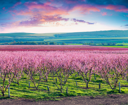 Flowering peach orchards near Istanbul. Beautiful outdoor scenery in Turkey, Europe. Colorful sunrise in the peach garden in April. Artistic style post processed photo. Stock Photo