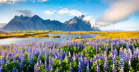 Blooming lupine flowers on the Stokksnes headland. Colorful summer panorama of the southeastern Icelandic coast with Vestrahorn (Batman Mountain). Iceland, Europe. Artistic style post processed photo. Stock Photo