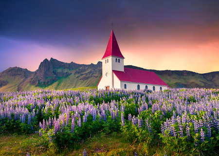Small church surrounded by blooming lupin flowers in the Vik village. Dramatic summer sunrise in the Iceland, Europe. Artistic style post processed photo.