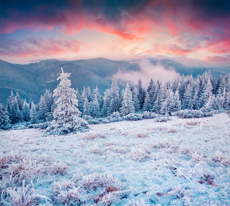 Amazing winter sunrise in Carpathian mountains with snow cowered fir trees. Colorful outdoor scene, Happy New Year celebration concept. Artistic style post processed photo.