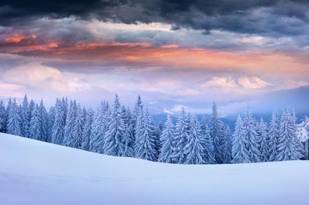 カルパチア山脈の劇的な冬の日の出は、雪が積もったモミの木。カラフルなアウトドアシーン、ハッピーニューイヤーのお祝いのコンセプト。アー