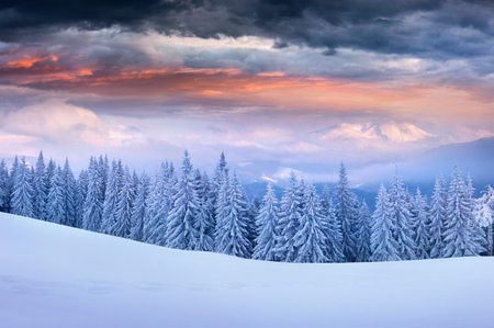 Dramatic winter sunrise in Carpathian mountains with snow cowered fir trees. Colorful outdoor scene, Happy New Year celebration concept. Artistic style post processed photo. Stock Photo