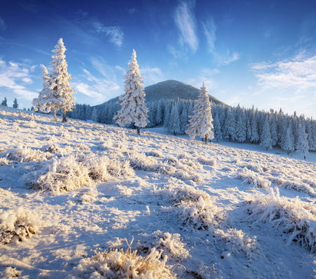 Sunny winter morning in mountain forest with snow covered fir trees. Colorful outdoor scene, Happy New Year celebration concept. Artistic style post processed photo.