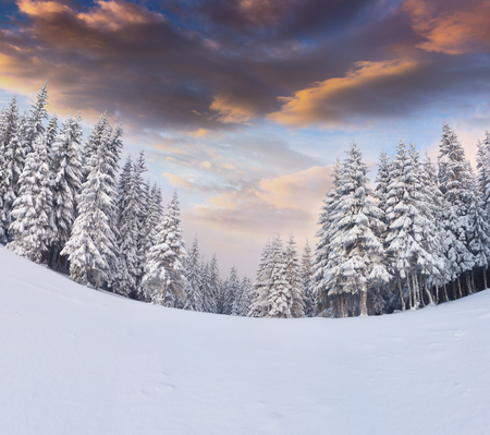 Incredible winter sunrise in Carpathian mountains with snow covered fi trees. Colorful outdoor scene, Happy New Year celebration concept. Artistic style post processed photo. Stock Photo