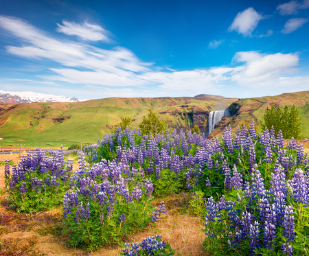 Blooming lupine flowers near majestic Skogafoss waterfall in south Iceland, Europe. Colorful summer landscape in the country. Artistic style post processed photo. Stock Photo