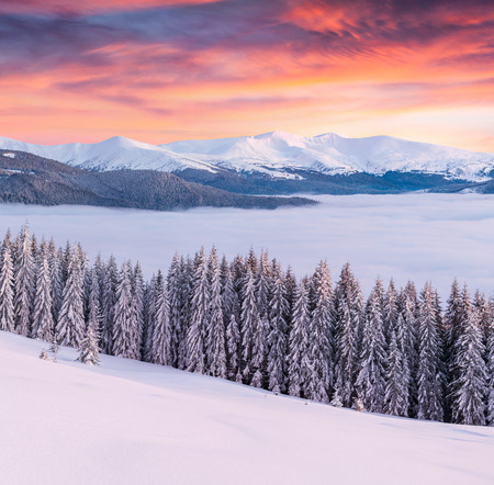 Magnificent winter sunrise in Carpathian mountains with snow covered fir trees. Great outdoor scene, Happy New Year celebration concept. Artistic style post processed photo.