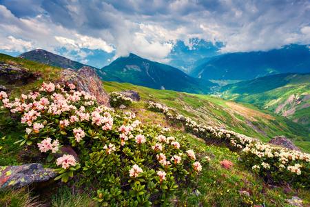 Bloeiende witte rododendron bloeit in de bergen van de Kaukasus in juni. Bewolkte ochtendmening van de bergheuvel in Hogere Svanetia, Georgië, Europa. Schoonheid van de natuur concept achtergrond.