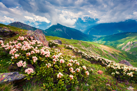 Blooming white rhododendron flowers in the Caucasus mountains in June. Cloudy morning view of the mountain hill in Upper Svanetia, Georgia, Europe. Beauty of nature concept background. Stock fotó