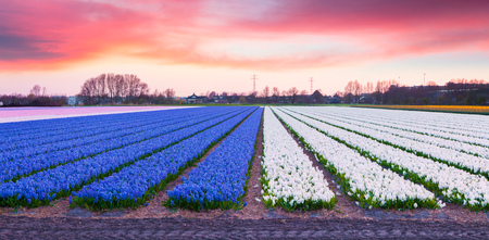 Fields of blooming hyacinth flowers at the morning. Colorful spring sunrise in the flowers farm, Lisse village location, Netherlands, Europe. Beauty of nature concept background.