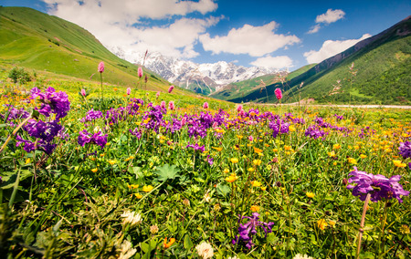 Colorful summer view on the bloobing flowers in Caucasus mountains. Sunny morning scene on the foot of Shkhara mountain, Ushguli village location, Upper Svaneti, Georgia, Europe.