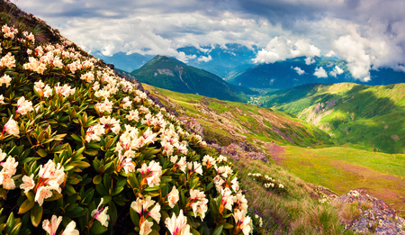 Blooming white rhododendron flowers in the Caucasus mountains in June. Cloudy morning view of the mountain hill in Upper Svanetia, Georgia, Europe. Beauty of nature concept background. Stock Photo