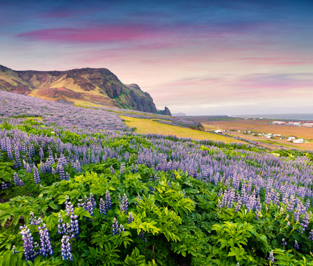 Picturesque summer landscape on the south coast of Iceland, Vik village location. Colorful outdoor scene with field  of blooming lupine flowers. Artistic style post processed photo.