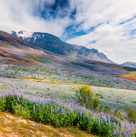 Typical Icelandic landscape with field of blooming lupine flowers in the June. Sunny summer morning in the southern coast of Iceland, Vik village location, Europe. Artistic style post processed photo.
