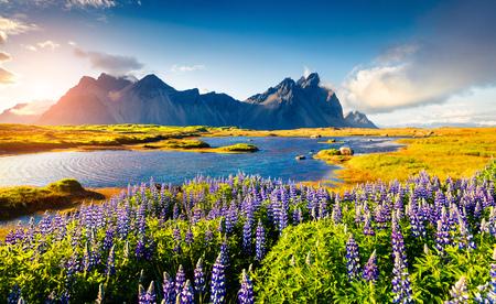 Kwitnące kwiaty łubinu na cyplu Stokksnes. Kolorowy widok na południowo-wschodnie wybrzeże Islandii z Vestrahorn (góra Batmana). Islandia, Europa. Post przetworzony w stylu artystycznym. Zdjęcie Seryjne