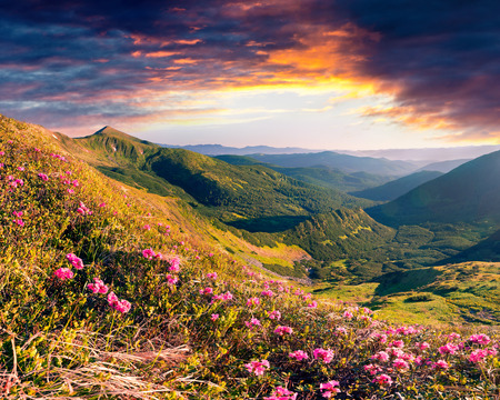 Dramatic summer sunrise with fields of blooming rhododendron flowers. Splendid outdoors scene in the Carpathian mountains, Ukraine, Europe. Beauty of nature concept background.