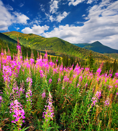 Splendid summer landscape in the Carpathians with fields of blooming beggars-ticks flowers. Sunny morning view, Ukraine, Europe. Beauty of nature concept background. Stock Photo