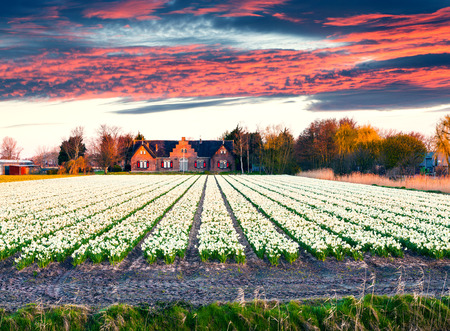 Fields of blooming narcissus flowers at the morning. Colorful spring sunrise in the flowers farm, Lisse village location, Netherlands, Europe. Beauty of countryside concept background.