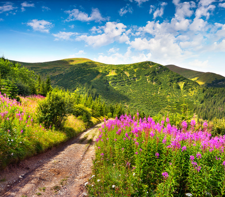 Amazing summer landscape in the Carpathians with fields of blooming beggars-ticks flowers. Sunny morning view with old country road, Ukraine, Europe. Beauty of nature concept background.  Stock Photo