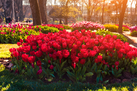 Marvellous red tulips in the Gulhane (Rosehouse) park, Istanbul. Beautiful outdoor scenery in Turkey, Europe. Sunset in the city park. Beauty of nature concept background.  Stock Photo