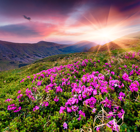 Amazing summer sunrise with fields of blooming rhododendron flowers. Splendid outdoors scene in the Carpathian mountains, Ukraine, Europe. Beauty of nature concept background.