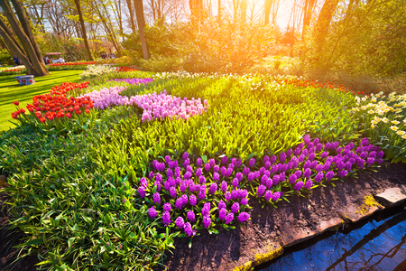 Colorful spring sunrise in Keukenhof gardens. Blooming hyacinth flowers in Netherlands, Europe. Beauty of nature concept background. Artistic style post processed photo. Stock Photo