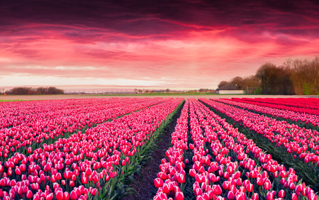 Dramatic spring sunrise on the tulip farm near the Creil town. Beautiful outdoor scenery in Netherlands, Europe. Beauty of countryside concept background. Artistic style post processed photo.