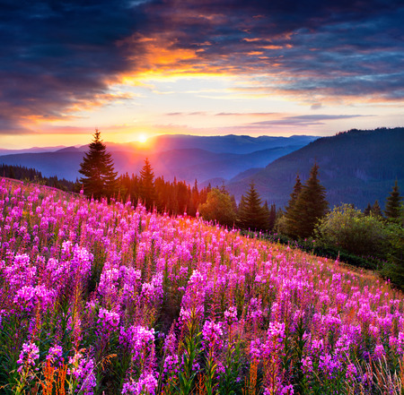Dramatic summer sunrise in Carpathian mountains. Fields of blooming angustifolium flowers in the mountain valley. Beauty of nature concept background.