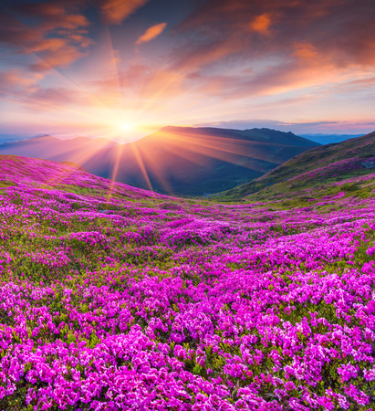 Colorful summer sunrise with fields of blooming rhododendron flowers. Amazing outdoors scene in the Carpathian mountains, Ukraine, Europe. Beauty of nature concept background. Archivio Fotografico