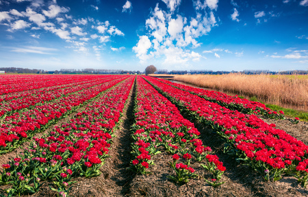 Sunny spring scene with fields of blooming tulip flowers. Colorful morning view of the flower farm, Espel village location, Netherlands, Europe. Beauty of countryside concept background.