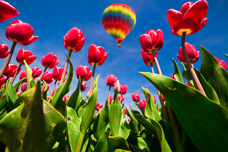 Flying on the balloon over the field of blooming red tulip flowers. Sunny spring scene in the countryside. Artistic style post processed photo.