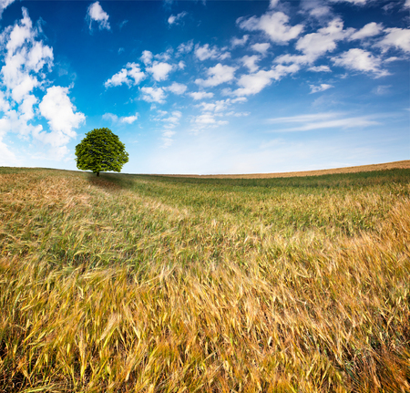 Picturesque summer view of the wheat field. Splendid morning scene in the countryside. Artistic style post processed photo. Beauty of nature concept background.  Stock Photo