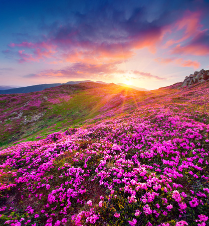 Dramatic summer sunrise in the Carpathian mountains. Great morning view of the fields of blooming rhododendron flowers in the mountain valley. Beauty of nature concept background.