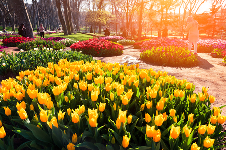 Marvellous yellow tulips in the Gulhane (Rosehouse) park, Istanbul. Beautiful outdoor scenery in Turkey, Europe. Sunset in the city park. Beauty of nature concept background.