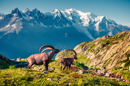 Alpine Ibex (Capra Ibex) on the Mont Blanc (Monte Bianco) background. Sunny summer morning in the Vallon de Berard Nature Reserve, Chamonix location, Graian Alps, France, Europe. Reklamní fotografie - 93257713