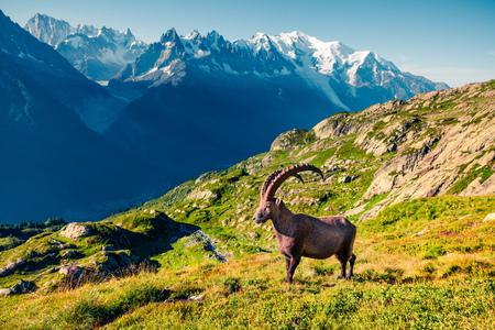 Alpine Ibex (Capra Ibex) en el fondo Mont Blanc (Monte Bianco). Mañana de verano soleada en Vallon de Berard Nature Reserve, ubicación de Chamonix, Graian Alps, Francia, Europa. Foto de archivo