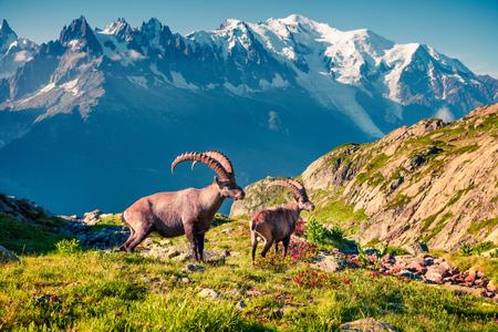 Alpensteinbock (Capra Ibex) auf dem Mont Blanc (Monte Bianco) Hintergrund. Sonniger Sommermorgen im Naturreservat Vallon de Berard, Chamonix-Standort, Graian Alps, Frankreich, Europa.