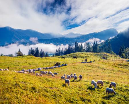 牧草地の羊と晴れた夏の風景。ジュリアンアルプス、トリグラフ国立公園、スロベニア、ヨーロッパのカラフルな朝のシーン。田舎のコンセプト背